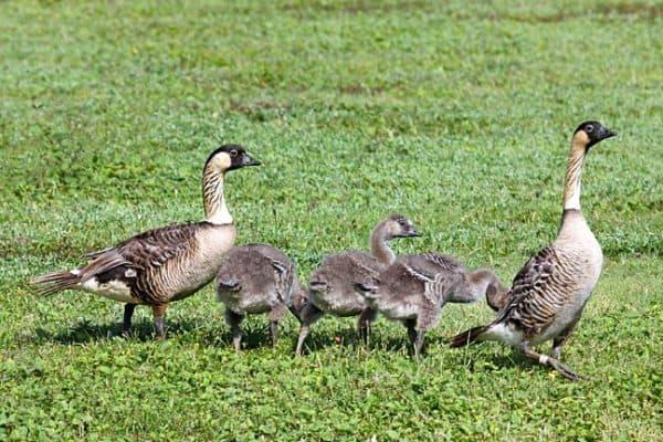 ENDANGERED SPECIES SPOTLIGHT- Nene Goose (a.k.a. Hawaiian Goose)