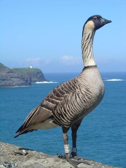 Nene Goose at Kilauea Point National Wildlife Refuge, Hawaii