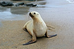New Zealand Sea Lion adult female Shaun T