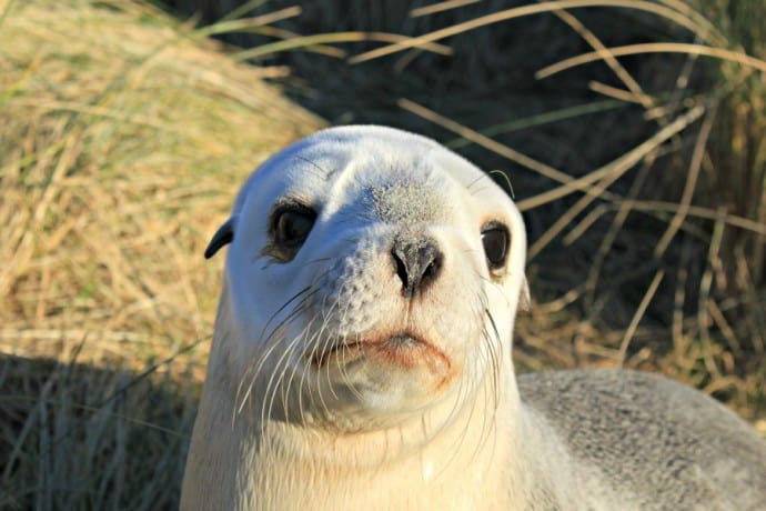 New Zealand Sea Lion adult female