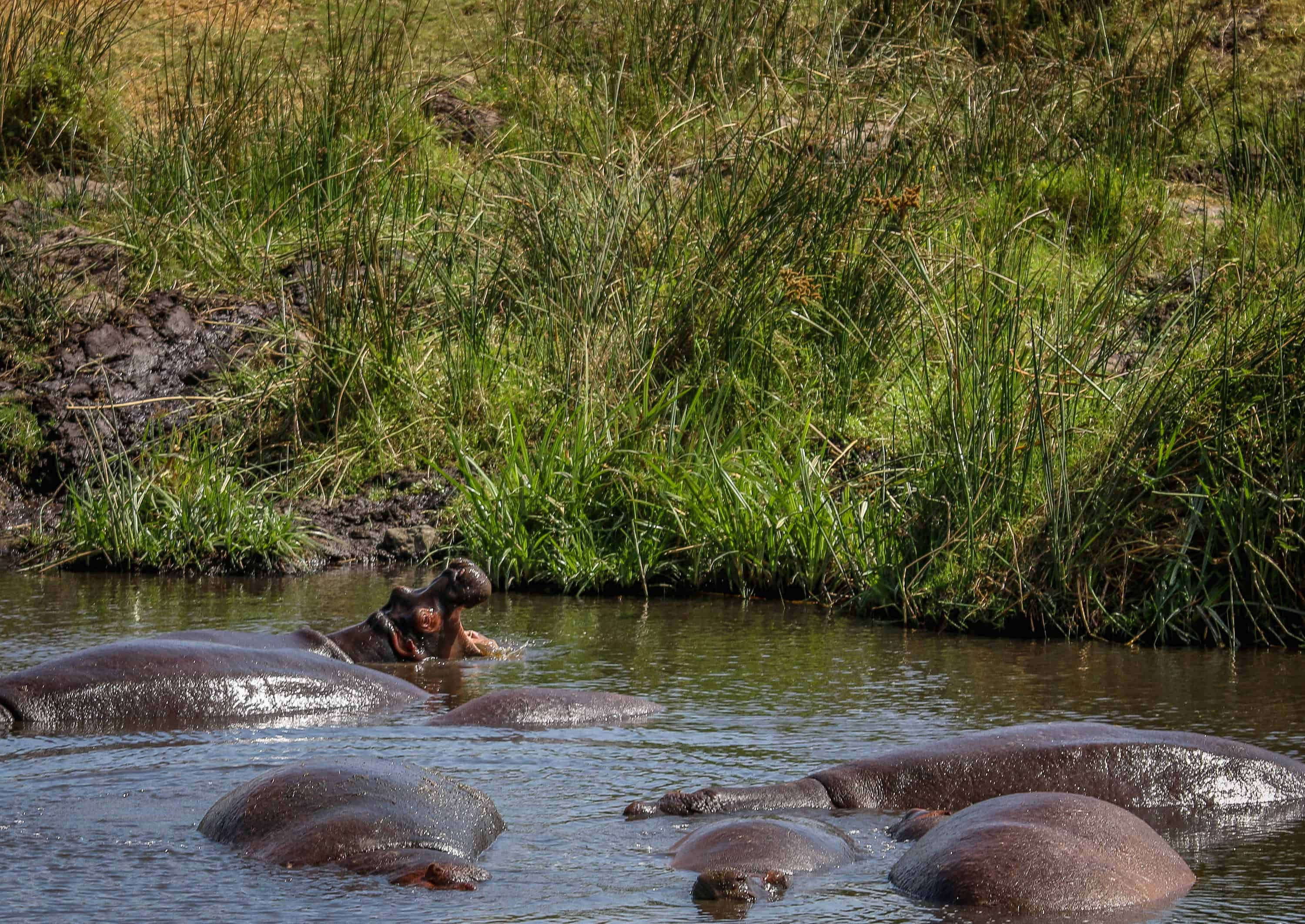 Ngorongoro Conservation Area- Hippos