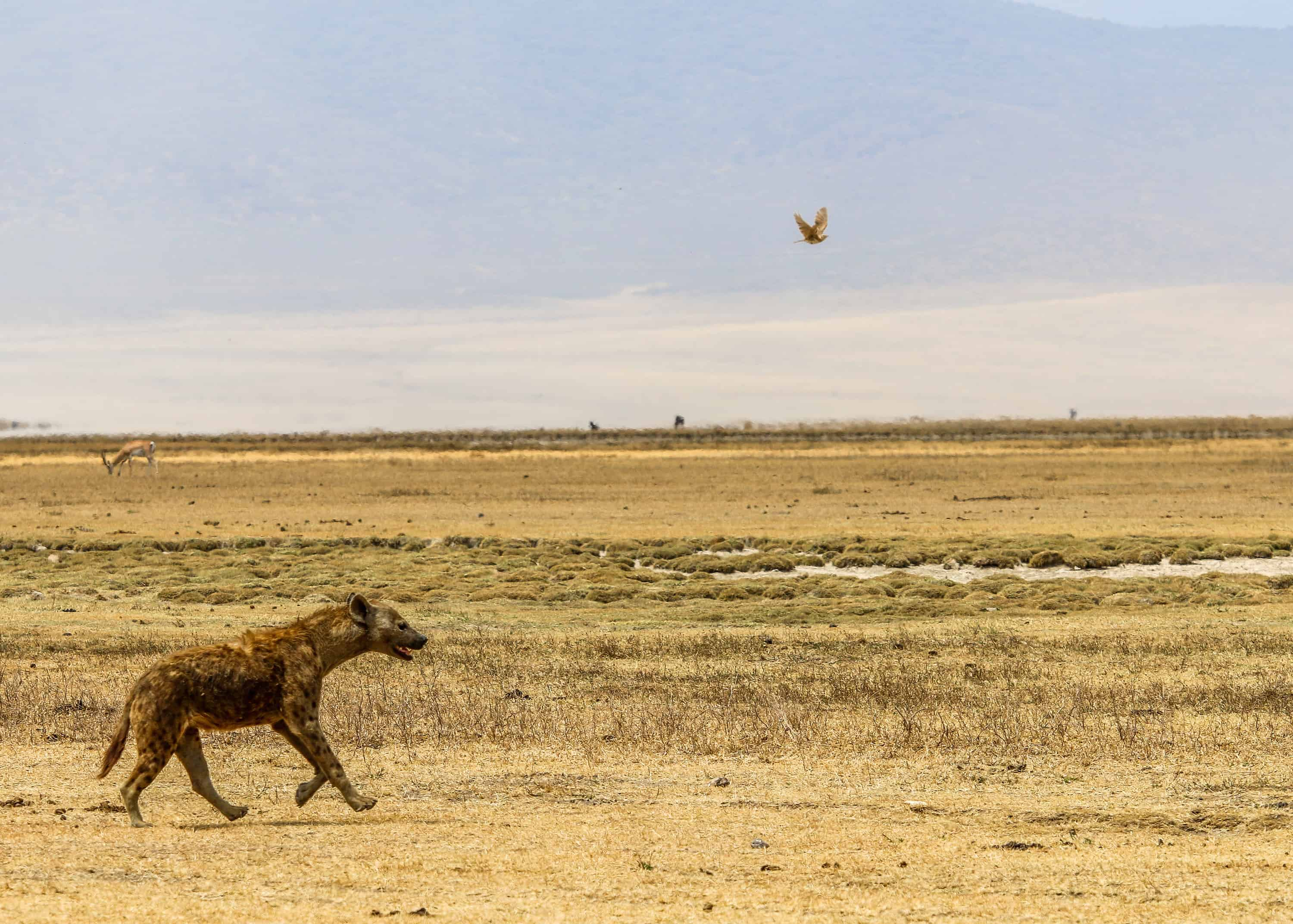Hyena Running in Ngorongoro Conservation Area