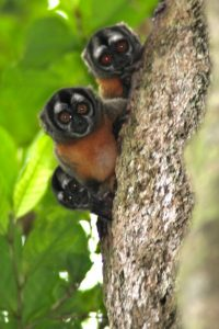 Owl Monkeys Night Monkeys Peru Amazon