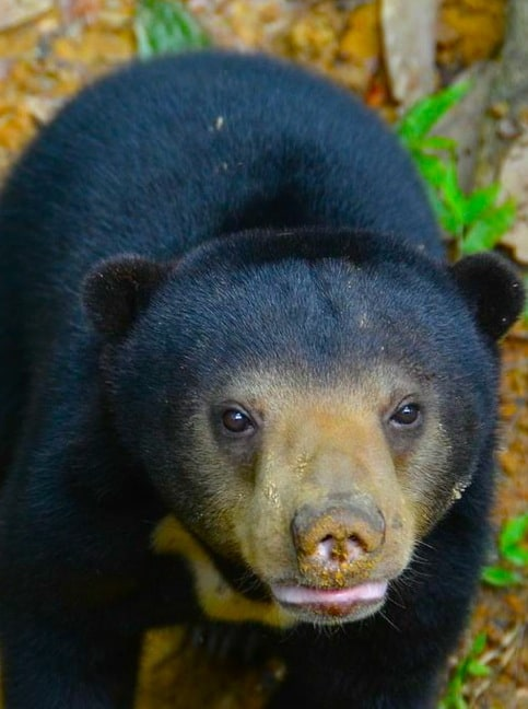 Sun Bear Cubs at Borneo Sun Bear Conservation Centre