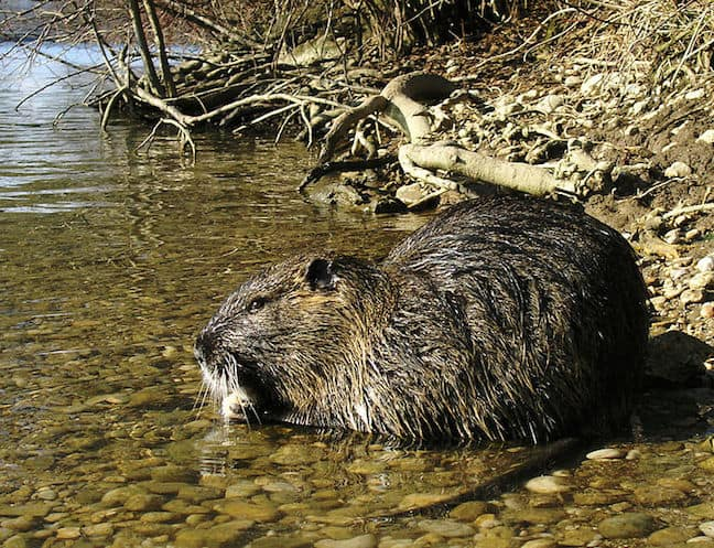 Weird Rodents Around The World, Nutria