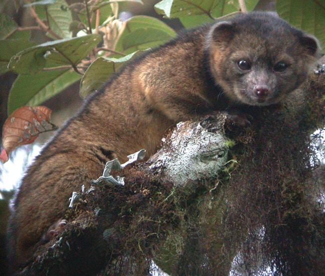 Weird Carnivorous Mammals Around The World, Olinguito