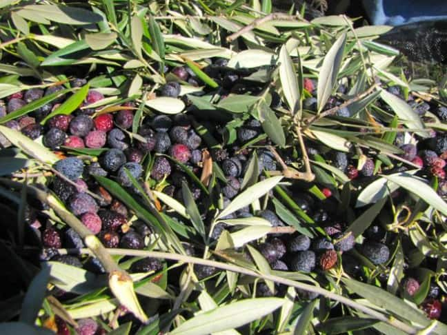 Olive Harvest at Tom's House--Each tree Provided a Couple of Large Feed Sacks of Olives