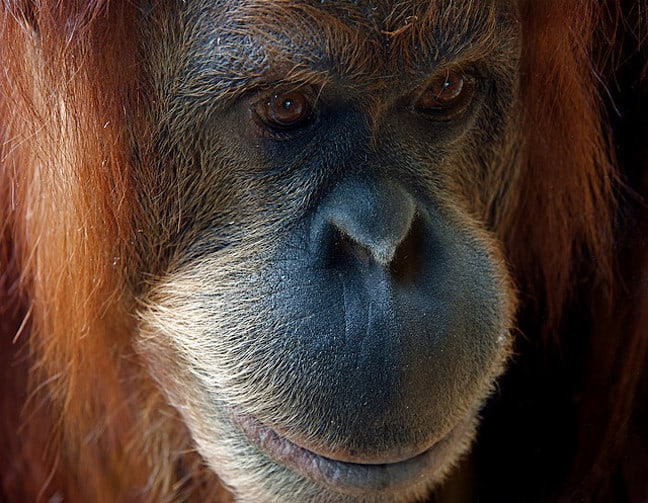 Orangutans Are Endangered by Palm Oil Plantations