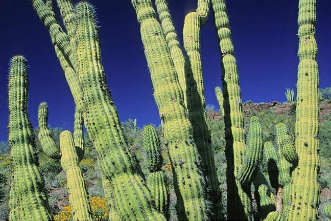 Organ Pipe Cactus Wilderness, Arizona