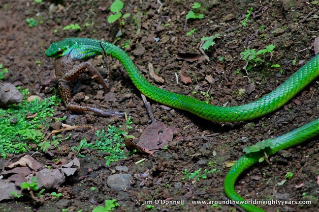 Costa Rican Snakes -Parrot Snake at La Selva Biological Research Station