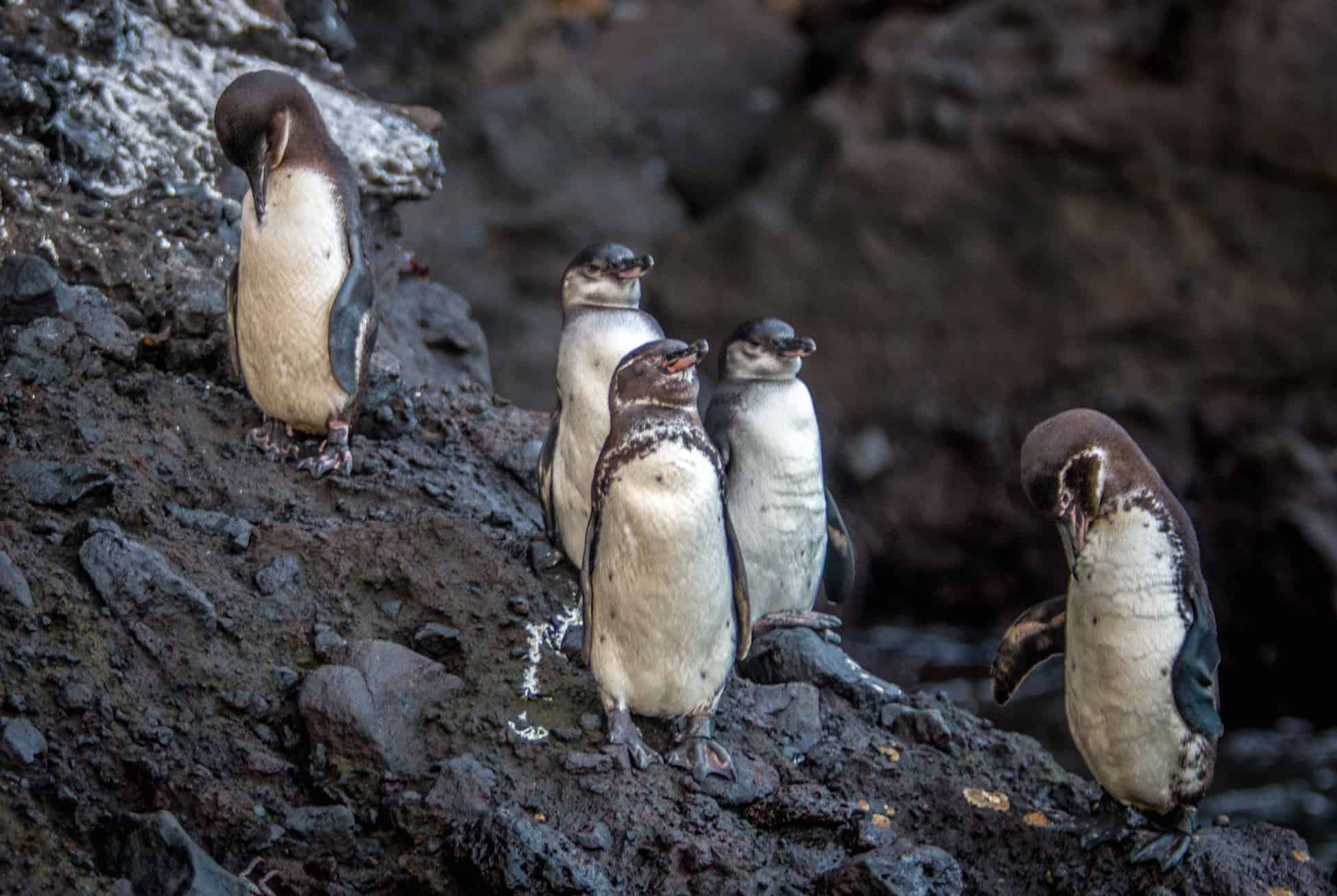Galapagos Penguins in Isabela Island's Tagus Cove