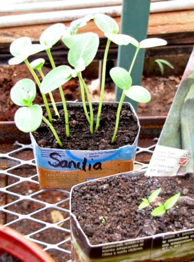 Permaculture Garden Guide - Watermelon Seedlings