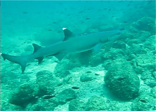 Whitetip Reef Shark in Coiba National Park, Panama