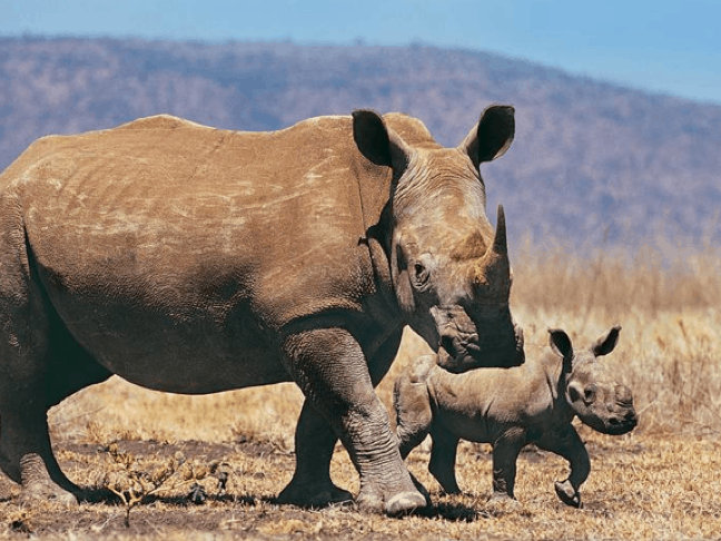 Baby & Mama Rhino in South Africa