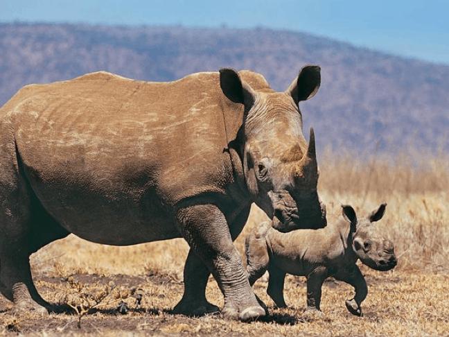 Baby & Mama Rhino in South Africa