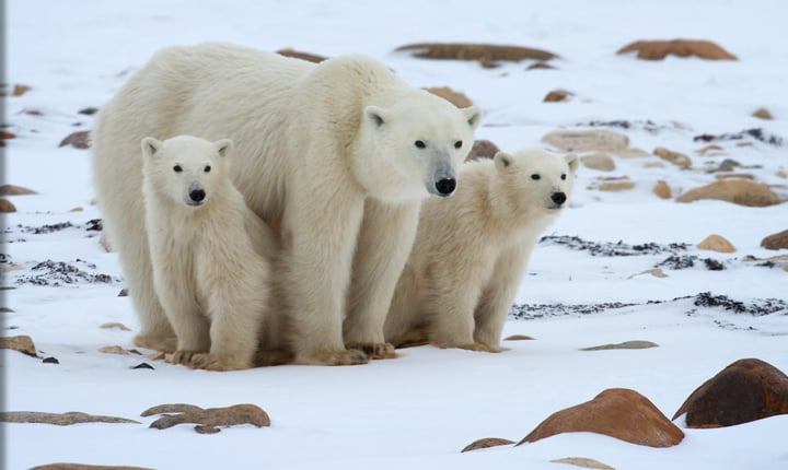 Mama Polar Bear & Cubs in Churchill, Manitoba