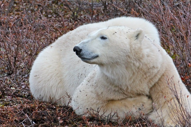 Polar_Bear in Churchill, Manitoba