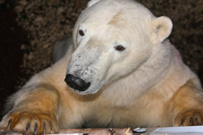 Polar Bear Closeup in Churchill, Manitoba