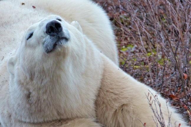 Polar_Bear_Stretching in Churchill, Manitoba