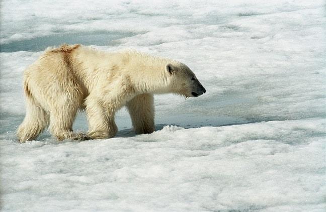Polar_Bear_Svalabard