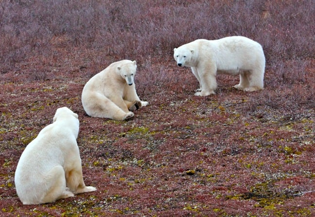 Polar_Bear_Trio in Churchill, Manitoba