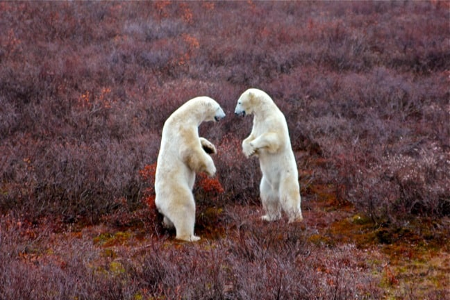 Polar_Bears_Fighting_Churchill