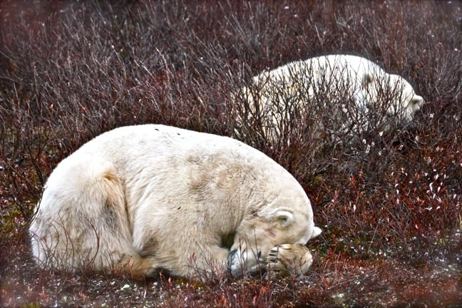 Polar_Bears_Napping in Churchill, Manitoba