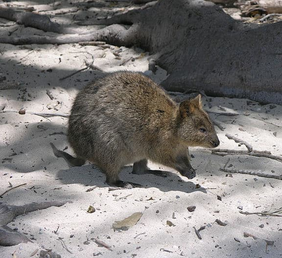 Weird Marsupials Around The World, Quokka