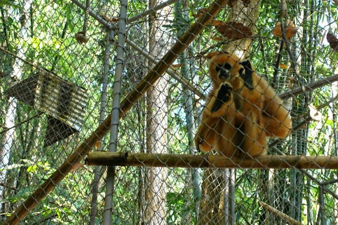 Gibbon Conservation Center -Rambo, too friendly to be released into the wild