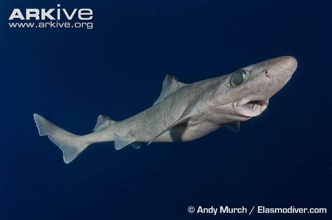 Rare Sharks - Gulper Shark