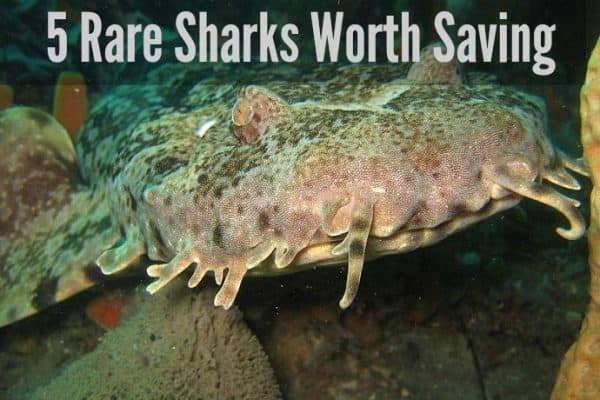 5 Rare Sharks Worth Saving