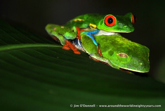 Red-Eyed Tree Frog near Rio Sarapiqui