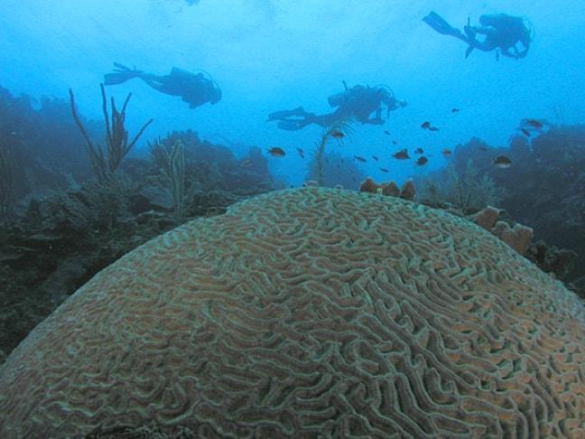 Roatan honduras dive coral