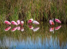 Roseate Spoonbills at South Padre Island Birding and Nature Center