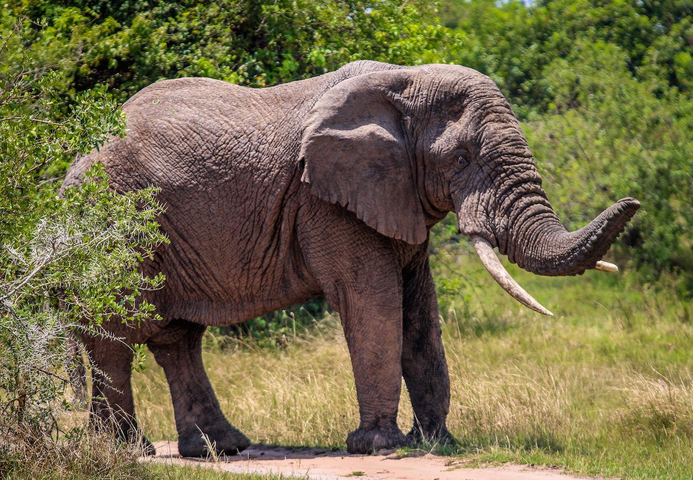 Elephant in Akagera National Park, Rwanda