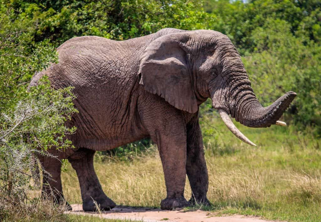 Elephant Facts for Kids: African Elephant in Akagera National Park, Rwanda