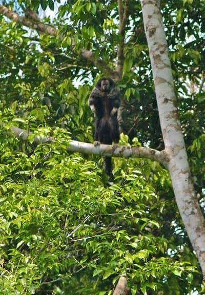 Equatorial Saki Monkey
