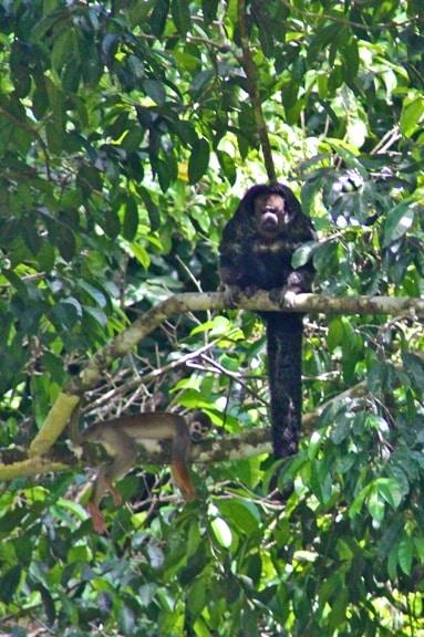 Equatorial Saki & Squirrel Monkey