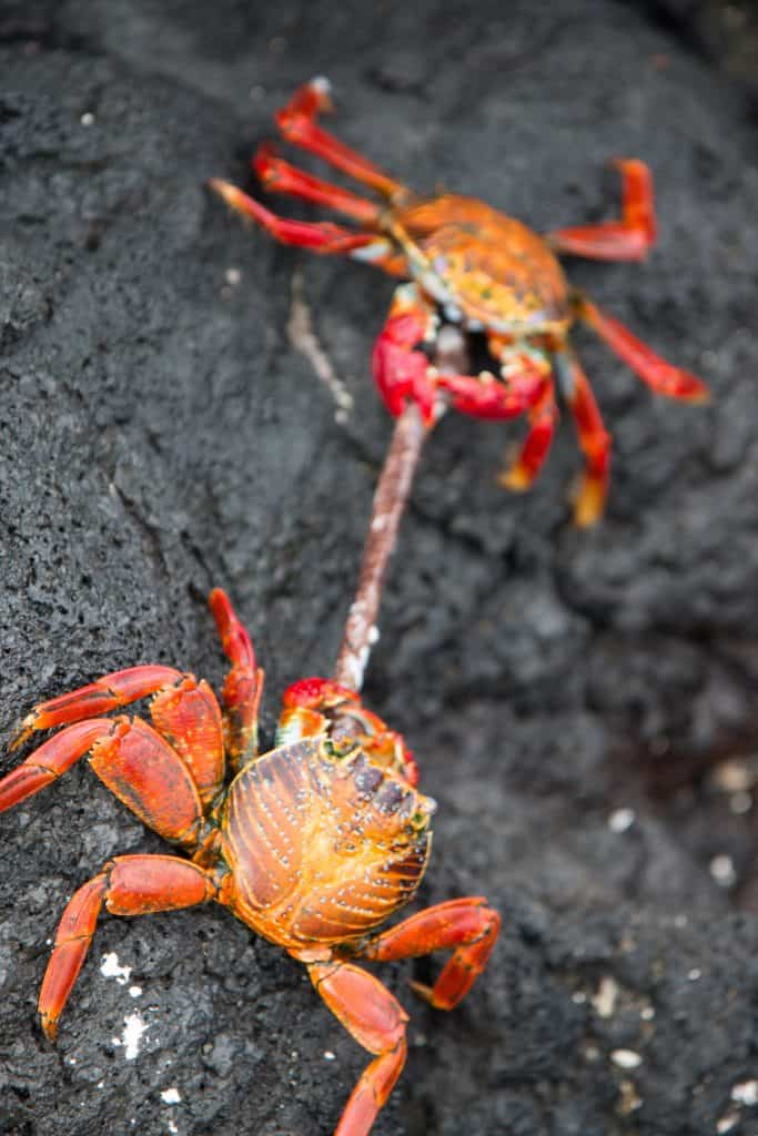 Galapagos Islands Sea Animals: Sally Lightfoot Crab