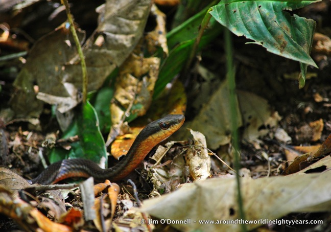Snakes of Costa Rica -Salmon-bellied Racer at La Selva Biological Research Station