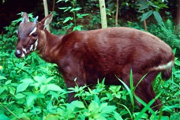 ENDANGERED SPECIES SPOTLIGHT- Saola (a.k.a. Asian Unicorn)