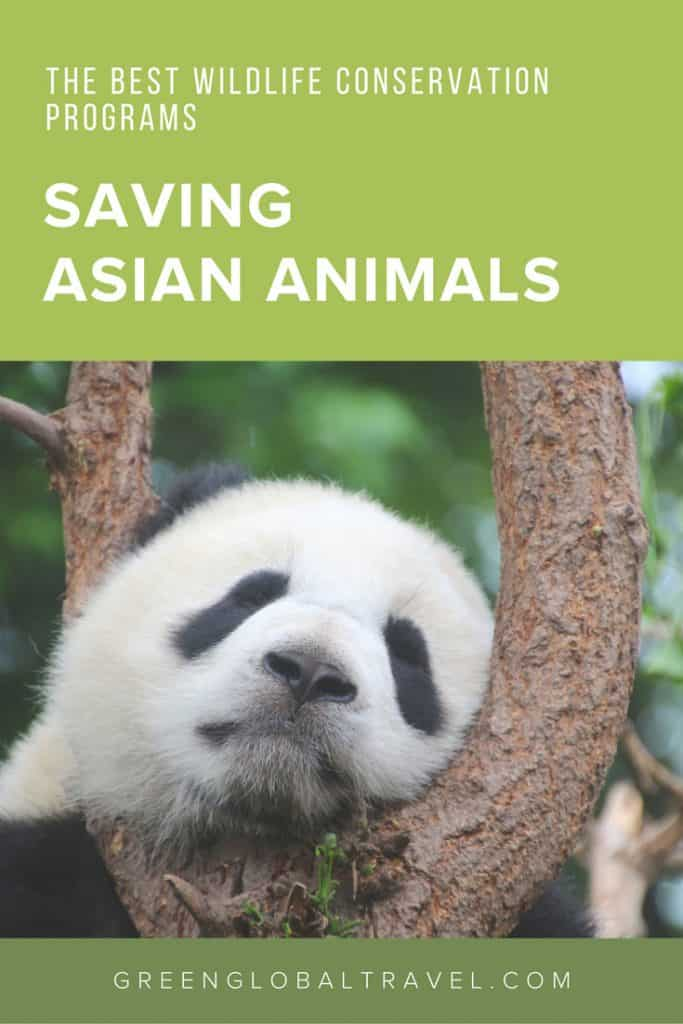 Saving Animals in Asia, including volunteer ideas for working with endangered species of elephants, pandas, pangolins, orangutans, snow leopards & more! via @greenglobaltrvl