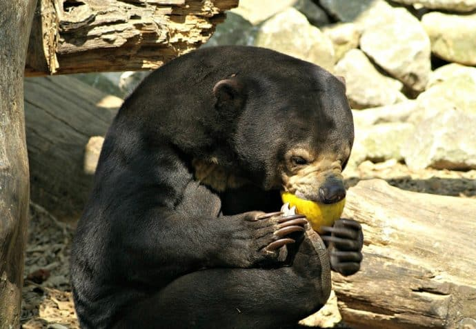 Asian Animals - Malaysian Sun Bear