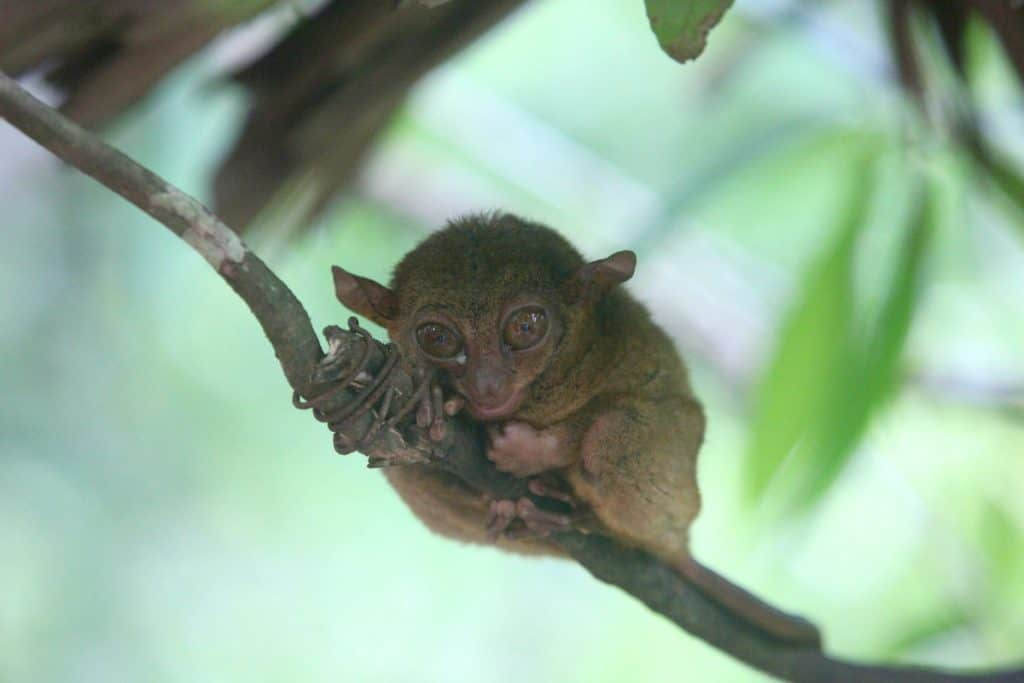 Animals in Asia -Tarsier