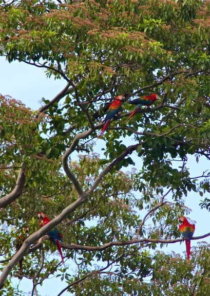 Scarlet Macaws Amazon