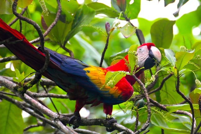 Scarlet Macaw in Corcovado National Park, Costa Rica
