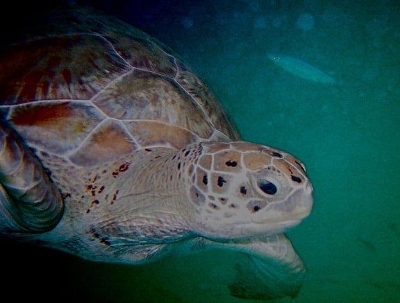 Things to Do in Barbados: Swimming With Sea Turtles