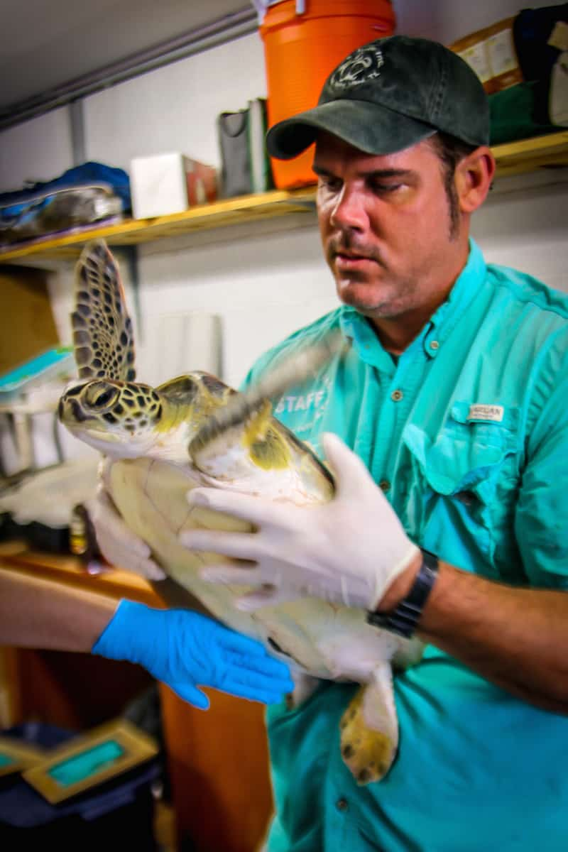 Sea Turtle Rescue at Sea Turtle Inc on South Padre Island, TX.