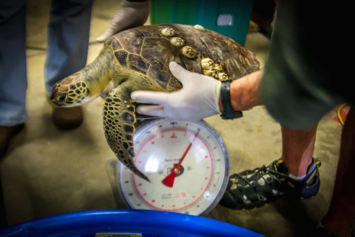 Rescued Sea Turtle at Sea Turtle Inc
