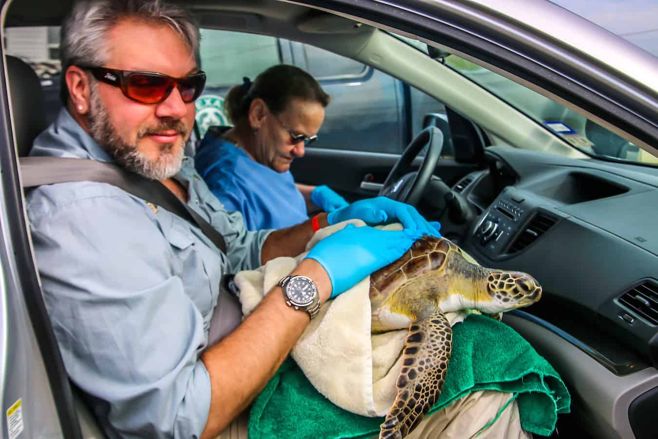 Sea Turtle Inc Rescues Green Sea Turtle in Port Isabel, TX